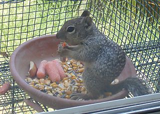 Baby squirrel in dish